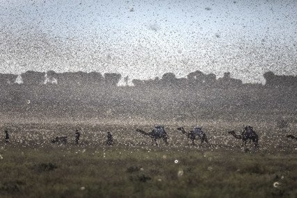 New swarms of locusts threaten to increase hunger in East Africa reeling from floods and coronavirus (只有英文) - 圖像